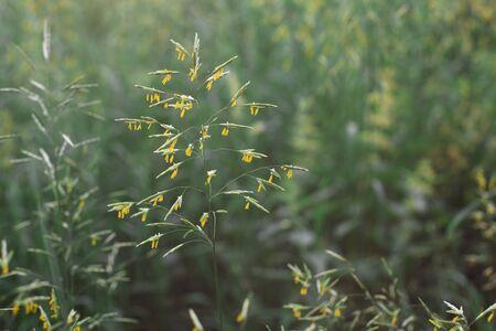 Yellow pollen on the green grass