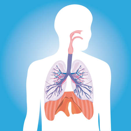 esophagus: Human respiratory system.  vector illustration