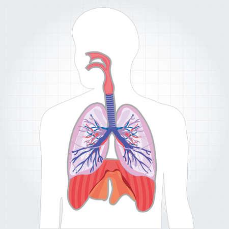 sistema respiratório pulmões corpo humano ilustração vetorial