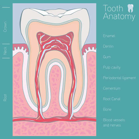 cementum: Tooth medical anatomy with words