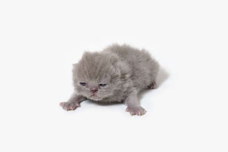 isolated exotic cats one week old with white background Stock fotó - 150623117