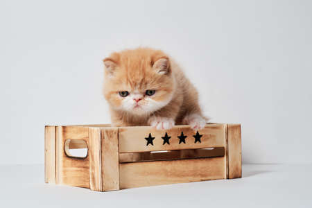 small young orange exotic cat in a box with isolated white background