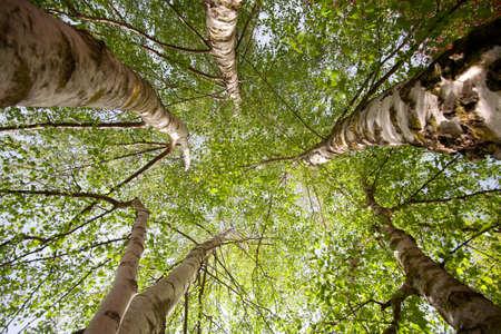 foglie: Betulle
