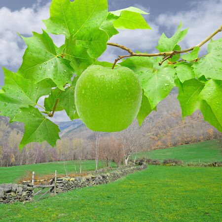 Green and fresh apple in a field.