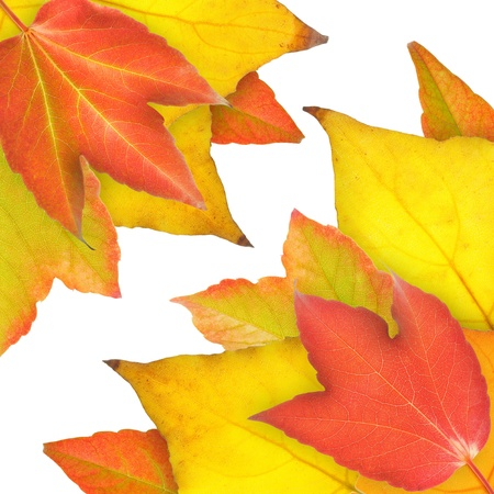 Red, yellow and orange leaves in fall.  Stock Photo