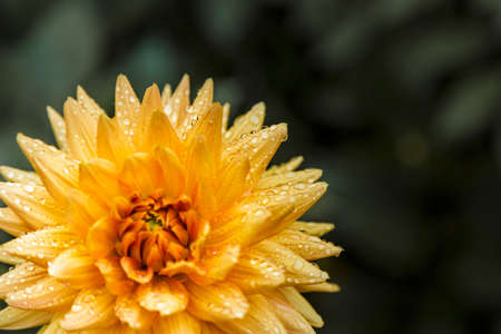 A yellow dahlia with drops of dew on its petals