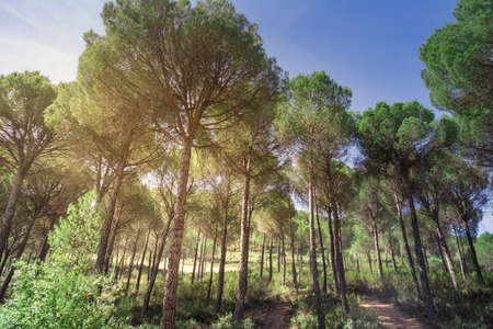 A group of poplars under an intense summer sun in the province of Huevla, southern Spain