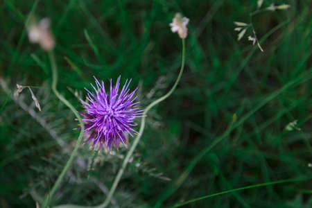 Purple flower called purple milk thistle in an urban park in the city of Cordoba