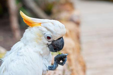 kakadu: The Portrait of the kakadu eating fruit Stock Photo