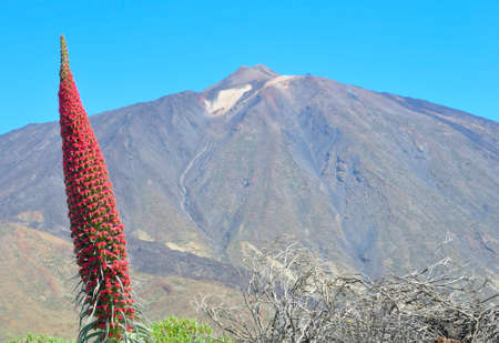 Echium wildpretii against  the peack of Teide Stock Photo