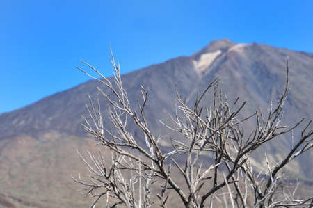 teh: Dry tree against teh  peack of Teide Stock Photo