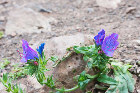 Thirst to the life.  Vipers Bugloss growing on the volcanic stones. Concept