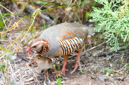 kuropatwa: Barbara partridge, Alectoris barbara, perdix with baby bird in