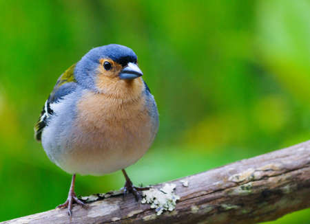 Fringilla coelebs. Common chaffinch, canariensis group from Madeira. Male