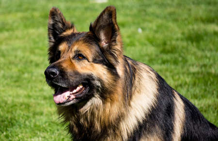German Shepherd Standard-Bild