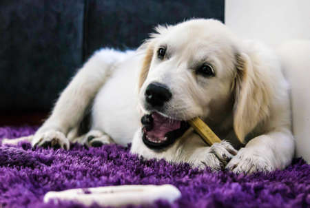 large dog: Golden Retriever Puppy with bone Stock Photo