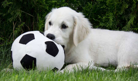 Golden Retriever Puppy with ball Standard-Bild