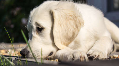 Golden Retriever Puppy Resting Standard-Bild