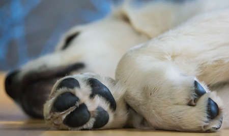 Golden Retriever Puppy Sleeping Paw Standard-Bild
