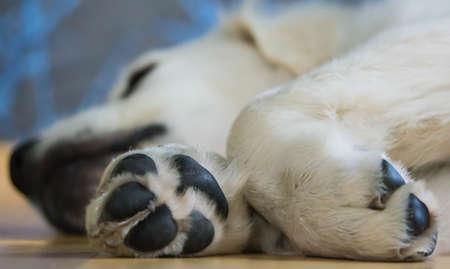 golden retriever puppy: Golden Retriever Puppy Sleeping Paw Stock Photo