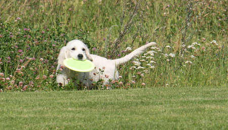 frisbee: Golden Retriever Puppy with frisbee