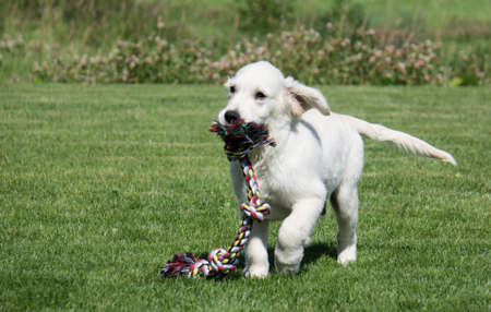 Golden Retriever Puppy with tug rope