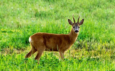 Swedish Roe Deer