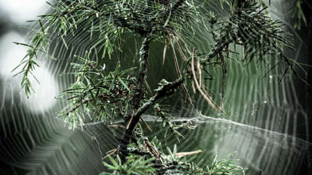 Spider web in pine tree, Sweden