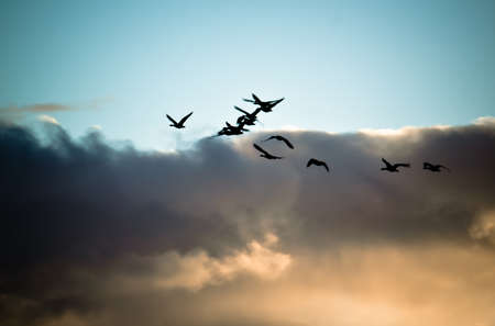 Flock of flying geese silhouette