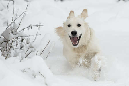 Golden Retriever in deep snow Standard-Bild