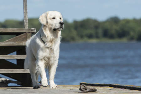 Golden Retriever on a pier