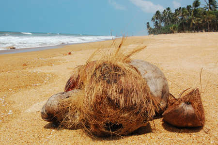 Coconuts on the shore of the Indian Ocean in Sri Lanka photo