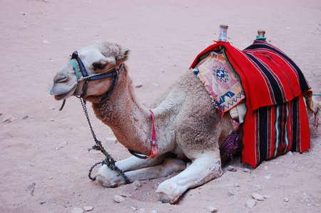 saddle camel: Camel in the Jordan desert