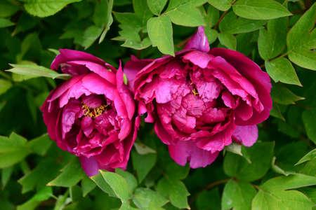 Flowers pink peonies