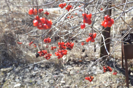 guelder rose berry: Bunch of red raspberries after winter
