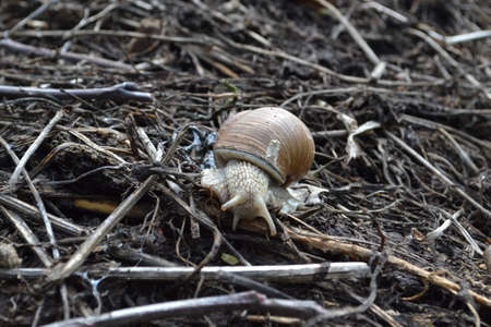 grape snail: Snail woke up in the spring after the winter Stock Photo