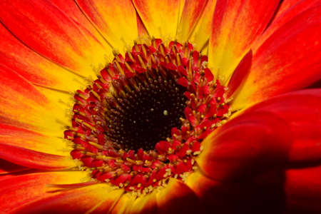 gritty: Gerbera flower with red petals and black nitty gritty