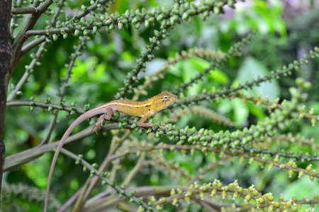 tokay gecko: Gecko on a green leaf palm