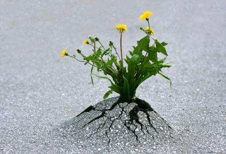 Plantas emergentes a través del asfalto de hard rock. Ilustra la fuerza de la naturaleza y los logros fantásticos!