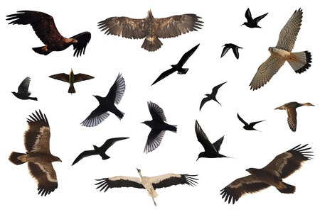 zwerm vogels: Een aantal vogels geïsoleerd op wit. Stockfoto