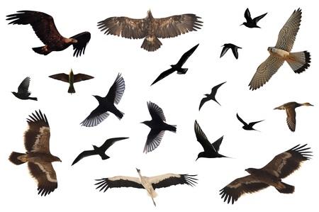 pajaros volando: Un n�mero de aves aisladas en blanco. Foto de archivo