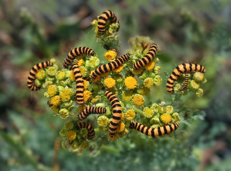 invading: A large group of larvae invading a host plant. Beautiful colors and abstract nature photo. Stock Photo