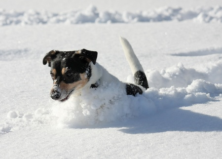 Cute dog jumping around in deep snow. Stock Photo