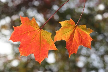Two colourful autumn leaves with blurry background.
