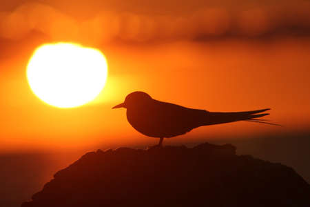 Bird in front to Sun. Silhouette in sunset.