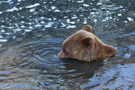 Playful bear doing water bubbles with his nose. photo