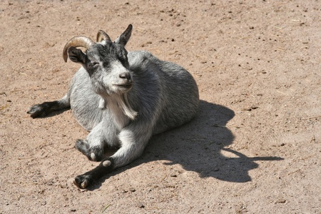 head rest: This goat seem to be very happy and content with life!