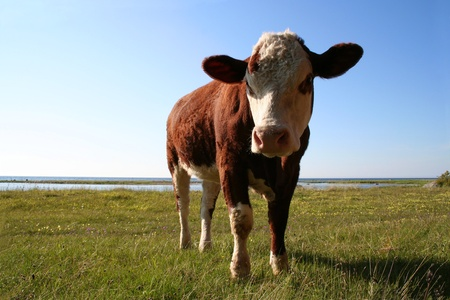 Funny cow that seem to be angry with intruders on his grassland. Stock Photo