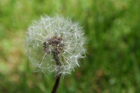 Beautiful macro picture of a Dandelion in seed dispersal stage.
