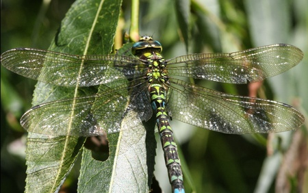 Macro picture of huge dragon-fly in high detail. Stock Photo
